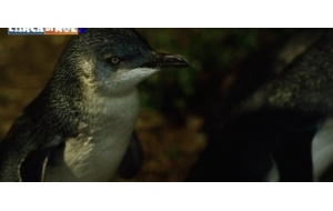 "The smallest penguin of the world in ""The Noah's Ark"""